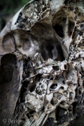 1 of 2 elephant skulls found in forest near camp