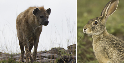 Hyena and Hare