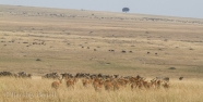 The massive hers of wildebeest flowing into the Masai Mara provide a backdrop for a group of impalas