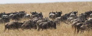 Migrating wildebeest