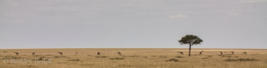 During the dry season, giraffe are forced to graze like all the other creatures of the Masai Mara